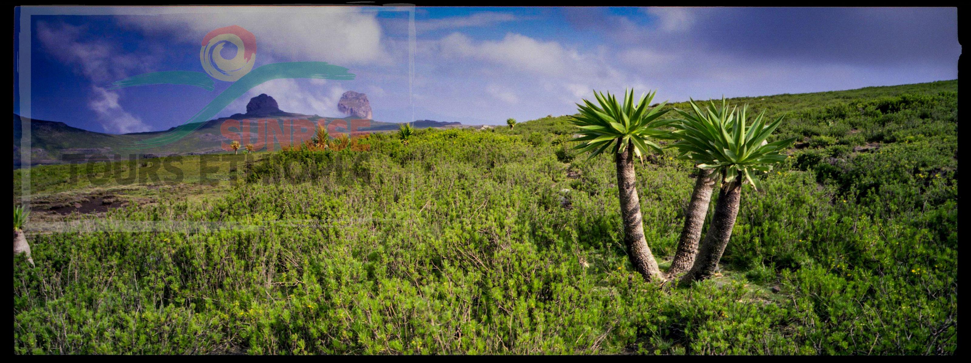 ETHIOPIA HIGH MOUNTAIN ABUNE YOSEPH GIANT LOBELIA